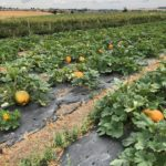 The pumpkins starting to grow at Farmer Copleys.